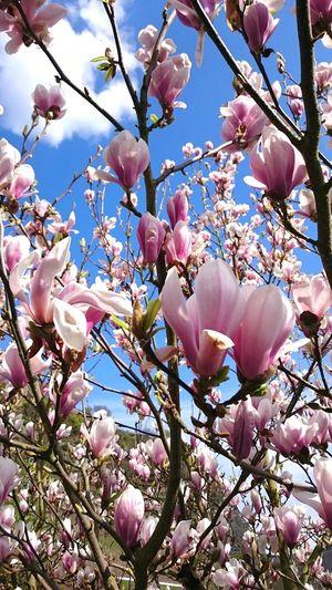 Mobilephotography Blue Sky Flower Head Tree Flower Branch Springtime Backgrounds Pink Color Petal Blossom Magnolia