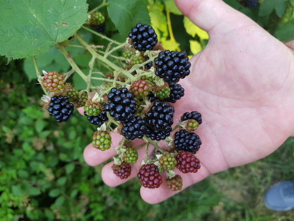 Black Butte Blackberry Blackberry With Fruits Morus Nigra Rubus Rubus Sectio Rubus Berry Fruit Blackberry Blackberry - Fruit Brombeere Brombeeren Finger Food Food And Drink Freshness Fruit Hand Healthy Eating Holding Human Body Part Human Hand One Person Outdoors Ripe Wellbeing