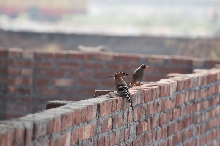 Close-Up Of Birds Perching On Brick Wall