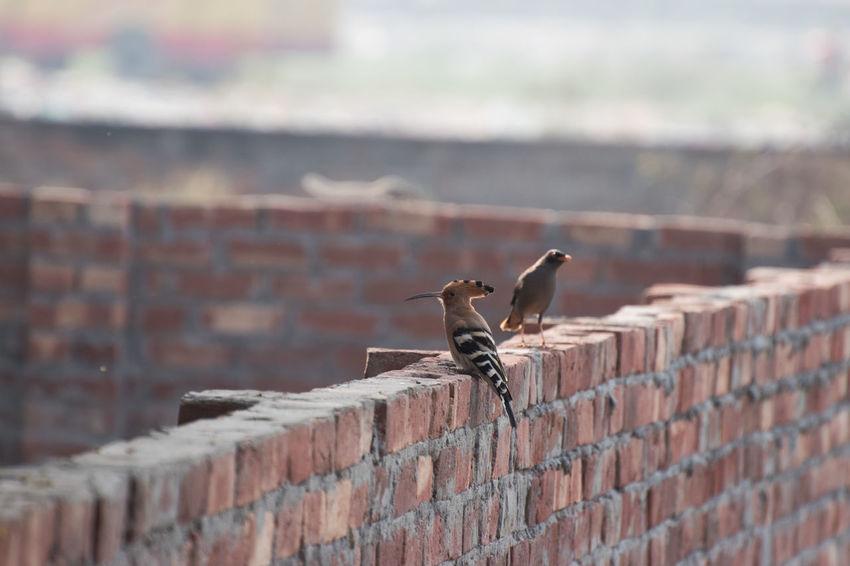 Bird Photography Bird Watching Brick Wall Day Hoopoe Hoopoe Bird Myna No People Outdoors Two Birds In Frame