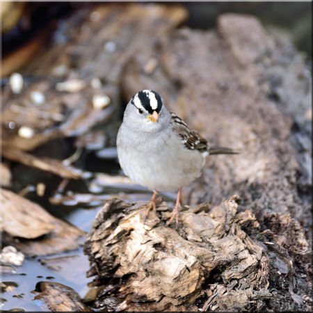 White-crowned Sparrow 3 Hayward, Ca. Shoreline White-crowned Sparrow Zonotrichia Leucophrys Passerellidae Forager Perching Tree Log Debris Bark Stream Water Birds🐦⛅ Birdwatching Bird Photography Bird_Collection Bird_lovers Orinthology Avian Nature Beauty In Nature Nature_collection Diet : Seeds And Insects Animal Wildlife Landscape Close-up