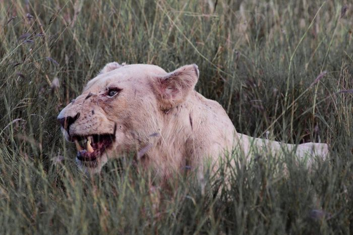 Animal Animals Lion Lions Lioness White Lion Anger Teeth Rage Cheese! Check This Out Portrait Wildlife Wildlife & Nature Wildlife Photography Popular Popular Photos EyeEm Best Shots EyeEm Gallery EyeEmBestPics EyeEm Best Edits Safari Kruger Park Timbavati Game Reserve South Africa MISSIONS: The Great Outdoors - 2017 EyeEm Awards The Portraitist - 2017 EyeEm Awards The Photojournalist - 2018 EyeEm Awards The Great Outdoors - 2018 EyeEm Awards The Portraitist - 2018 EyeEm Awards