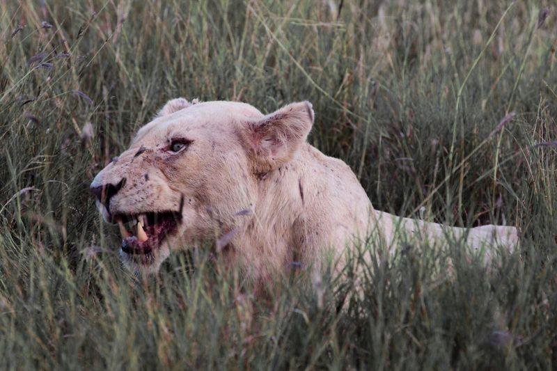 Animal Animals Lion Lions Lioness White Lion Anger Teeth Rage Cheese! Check This Out Portrait Wildlife Wildlife & Nature Wildlife Photography Popular Popular Photos EyeEm Best Shots EyeEm Gallery EyeEmBestPics EyeEm Best Edits Safari Kruger Park Timbavati Game Reserve South Africa MISSIONS: The Great Outdoors - 2017 EyeEm Awards The Portraitist - 2017 EyeEm Awards