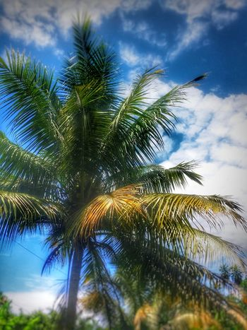 Summer scenery #green rule of thirds #malaysia #Nature  #bluesky #photography Tree Palm Tree Sky Close-up Cloud - Sky Palm Leaf Palm Frond Tropical Tree Coconut Palm Tree Treetop Branch Needle - Plant Part