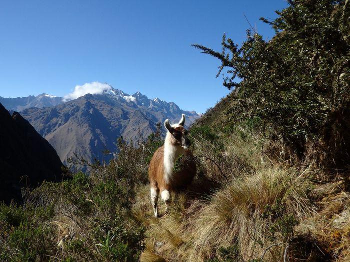Lama On Mountain