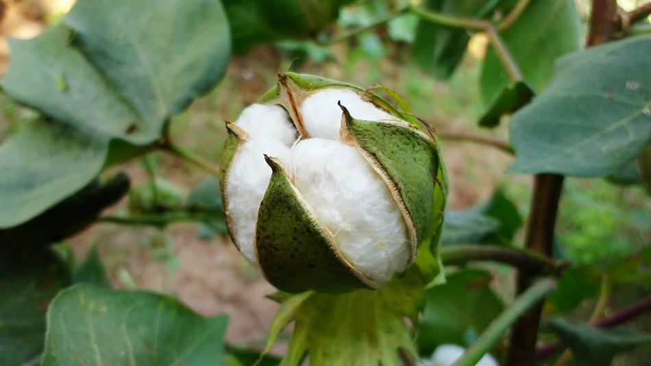 cotton plant Nature Green Color Beauty In Nature Freshness Nature Leaf Day Freshness Beauty In Nature Green Color Cotton Tree The Week On EyeEm