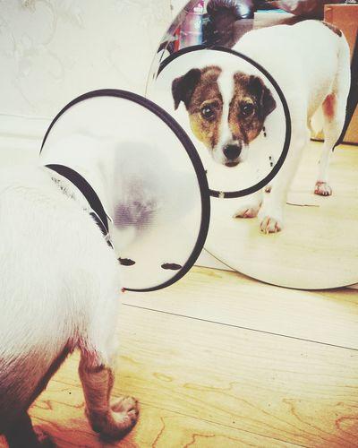 Douglas Jrtlove PoorBaby Poor Dog My Dog Coneofshame Mirrorshot Jackrussellterrier Ilovemydog