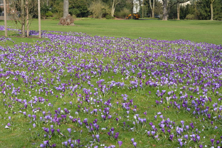 Beauty In Nature Crocus Crocus Flower Day Field Flower Flower Head Flowerbed Fragility Freshness Growth Nature No People Outdoors Plant Purple Purple Crocus Purple Flower Purple Flowers Sea Of Crocuse Spring Spring Flowers Spring Time Springtime Tree