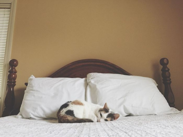 Pets One Animal Domestic Animals Bed Bedroom Domestic Cat Indoors  No People Feline Animal Themes Sleeping