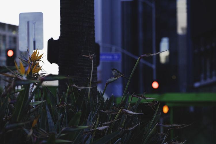 Bird Photography Birds Of EyeEm  Los Angeles, California Urban Birds Animal Themes Architecture Bird Bird Of Paradise - Plant Birds Birds_collection Bokeh Building Exterior Built Structure City Close-up Flower Freshness Grass Nature Night No People Outdoors Plant