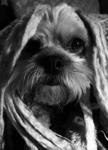 Dog Animal Themes Domestic Animals Pets Looking At Camera One Animal Portrait Mammal Close-up No People Indoors  Shih Tzu Day Eyes Are Soul Reflection My Dog Is Cooler Than Your Kids Cozying Blanket Hog Lovehimtopieces❤ Humor As Medicine Pet Therapy Couch The Creative - 2018 EyeEm Awards