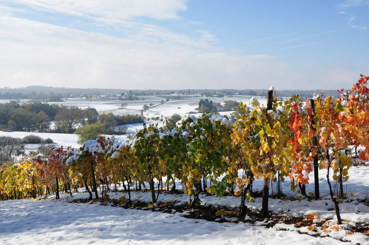 Autumn Colors Red Leaves Weather Weathered Beauty In Nature Cold Temperature Early Snowfall Landscape Snow Snow Covered Sunshine Vineyards In Autumn Winter