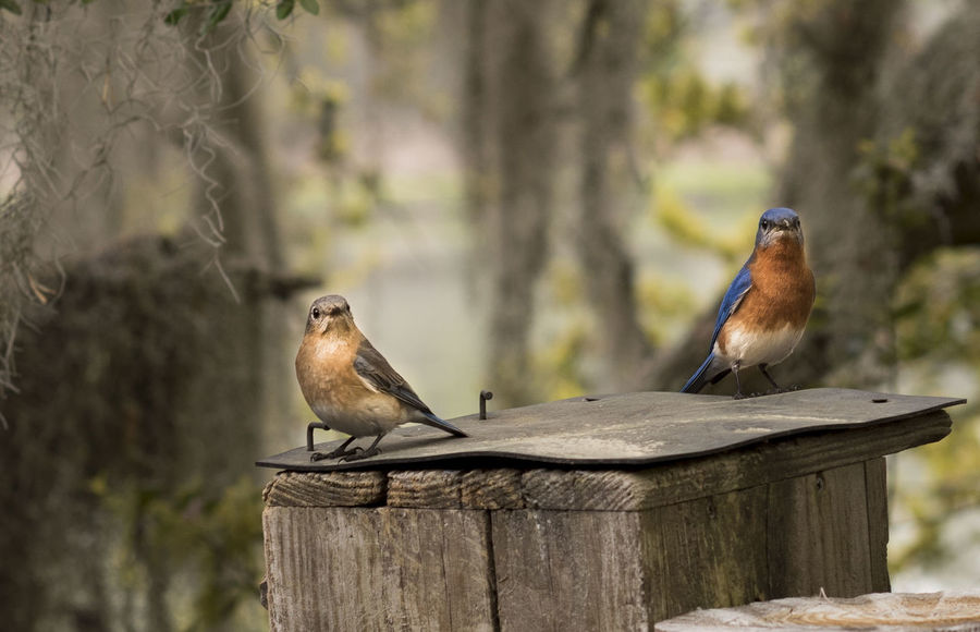 Animal Themes Animal Wildlife Animals In The Wild Beauty In Nature Bird Bluebirds Close-up Day Focus On Foreground Mourning Dove Nature No People One Animal Outdoors Perching Sparrow