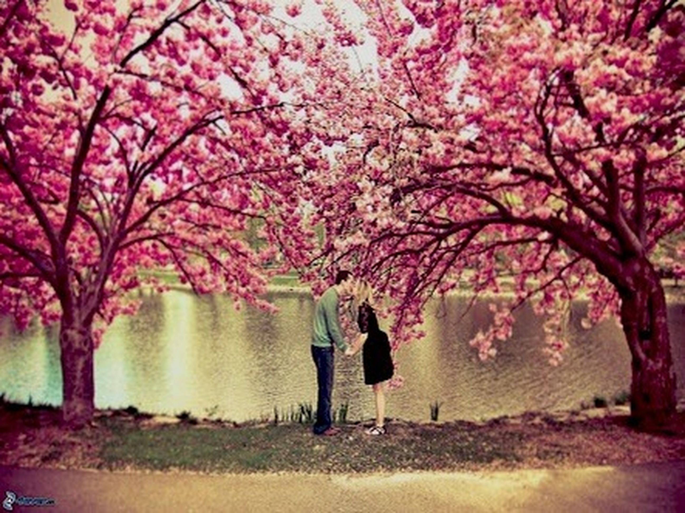 tree, flower, branch, pink color, beauty in nature, growth, nature, park - man made space, tranquil scene, tranquility, tree trunk, scenics, blossom, cherry blossom, freshness, outdoors, pink, park, day, incidental people