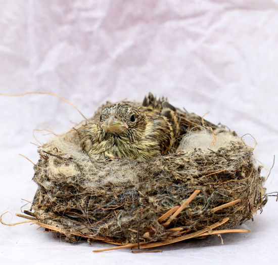 baby sparrow Animal Themes Animals In The Wild Baby Bird Close-up Cute Day Frightened  Nature Nest No People Small Sparrow