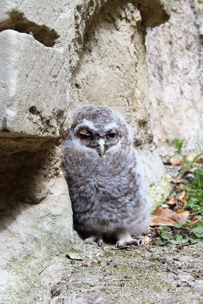 Baby Owl Animal Themes Animal One Animal Mammal Vertebrate Day No People Animal Wildlife Animals In The Wild Wall - Building Feature Nature Outdoors Sitting Looking At Camera Looking Baby Owl