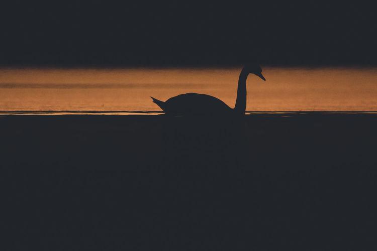 Silhouette of duck swimming in sea