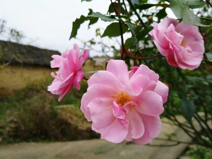 Flower Pink Color Blossom Petal Flower Head Nature Beauty In Nature