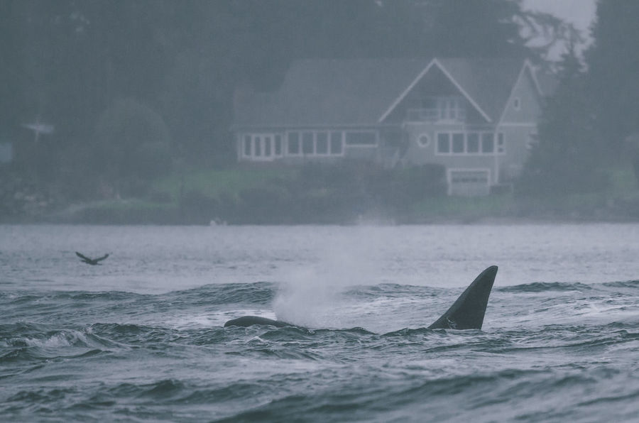 Water Rain Storm Fog Motion Storm Cloud Extreme Weather Orca Orcas Killer Whale Ocean Transient Waves House Real Estate Wildlife WestCoast Life Ocean View Sea View Ocean Life Hazy  West Coast Surfacing
