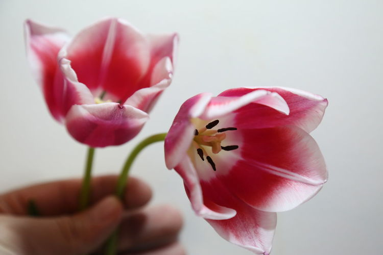 Close-up of hand holding pink and white tulips