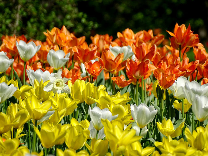 Beauty In Nature Nature Flower Collection Tulip Tulips Springtime Spring Spring Flowers Flower Flower Head Flower Yellow Petal Springtime Close-up Plant Blossoming