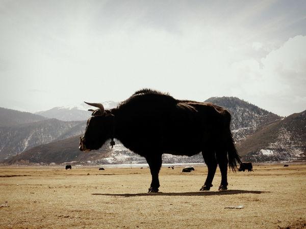 Bull Horns Majestic Animal Statue China Horned Animals Lake Mammal Ox  Power Animal Shangrila Strong Yunnan
