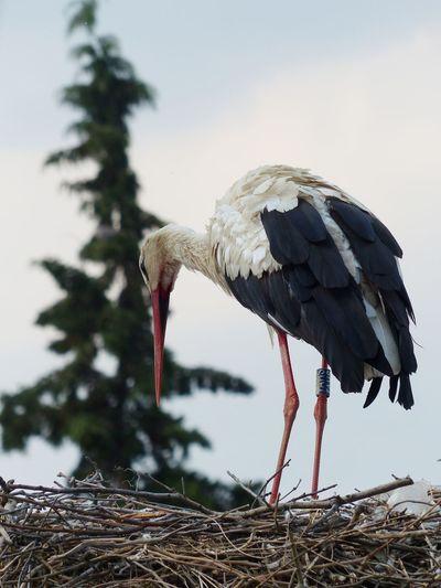 A beautiful stork in it's nest