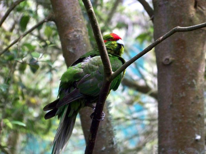 Native parrot