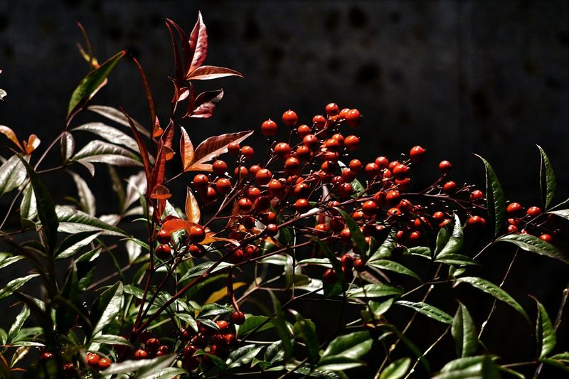 Cluster of red berry nandina (nandina domestica) growing on tree