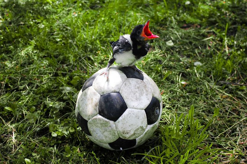 Bird perching on soccer at field