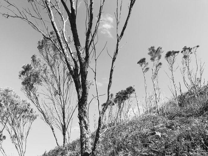skinny tree Sky