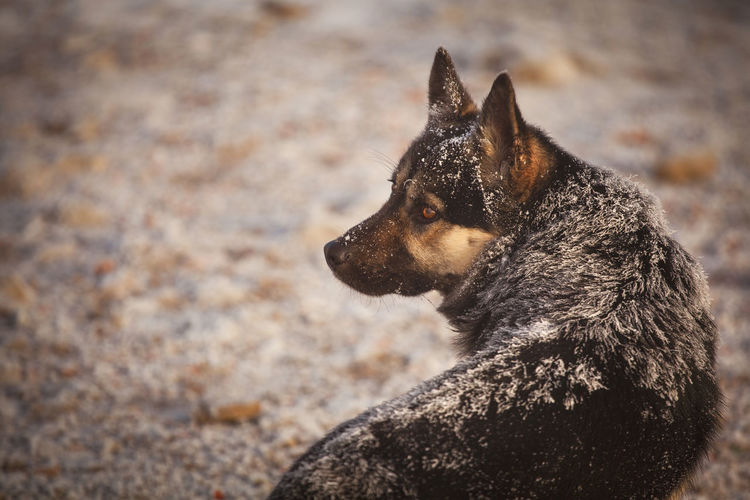 Dog in a cold winter day from Brasov area, Romania. Freezing Morning Nature Animal Animal Themes Black Canine Close-up Cold Dog Dogslife Domestic Fur German Shepherd Mammal Mountain One One Animal Outdoors Outside Pet Pets Portrait Single Wolf