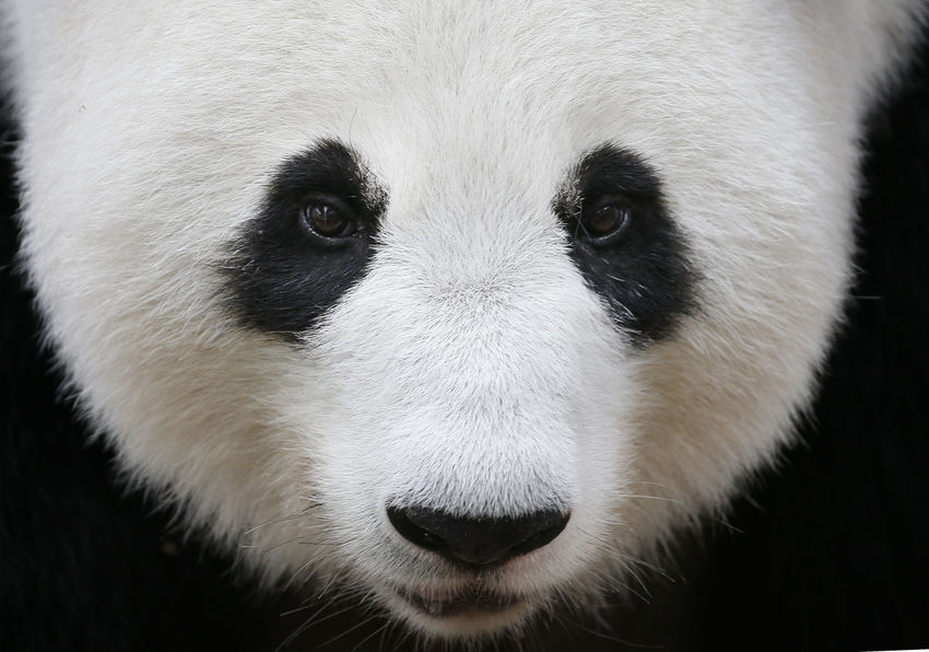 Animal Animal Body Part Animal Eye Animal Head  Animal Mouth Animal Nose Animal Themes Animal Wildlife Animals In The Wild Bear Close-up Domestic Animals Front View Giant Panda Herbivorous Looking At Camera Mammal No People One Animal Outdoors Panda - Animal Portrait Snout Vertebrate White Color