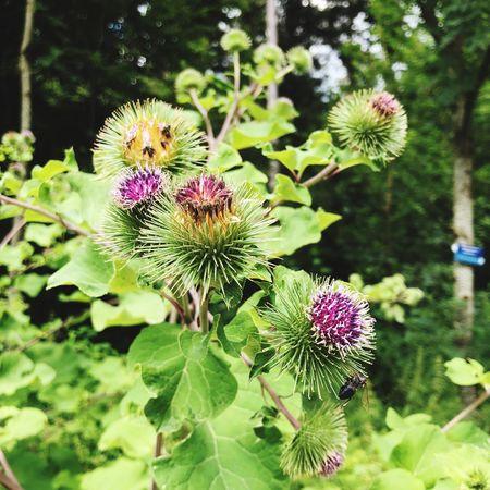 WoodLand BURR Flowering Plant