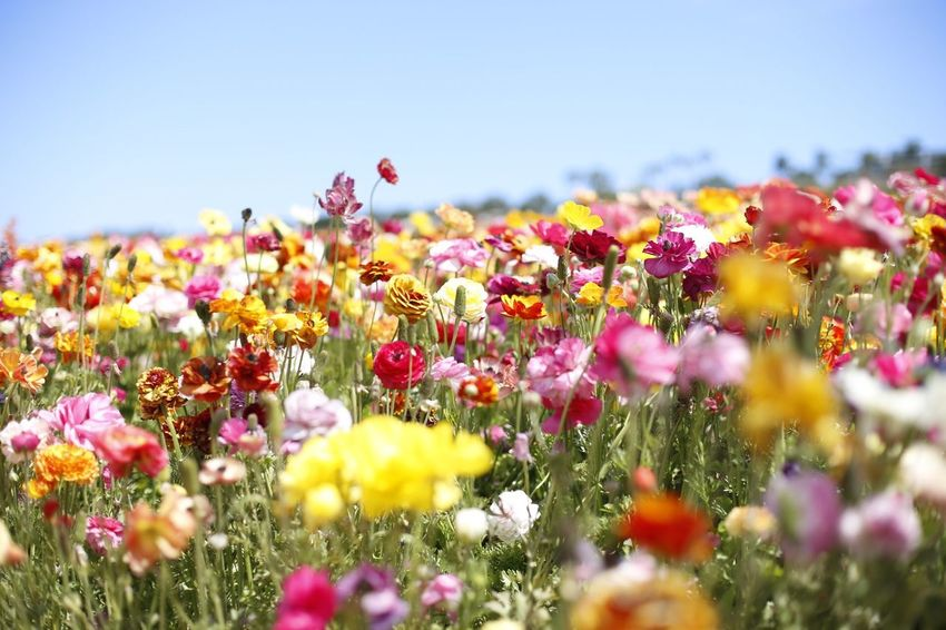Flowering Plant Flower Plant Freshness Vulnerability  Fragility Growth Selective Focus Close-up Field Flower Head Petal Inflorescence Beauty In Nature No People Nature Sky Land Yellow Pink Color