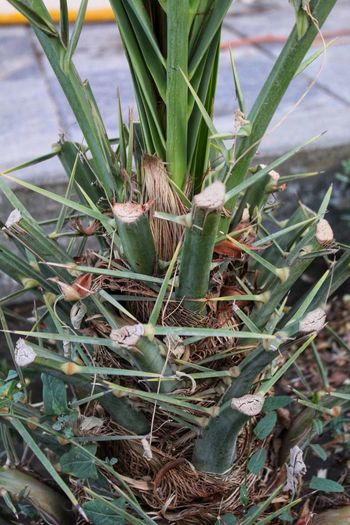 Palm-tree Leaf