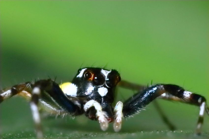 A Nimal Animal Animal Eye Animal Themes Animal Wildlife Animals In The Wild Arachnid Arthropod Backgrounds Beauty In Nature Bug Life Close-up Insect Invertebrate Jumping Spider Macro Nature Spider Wallpaper