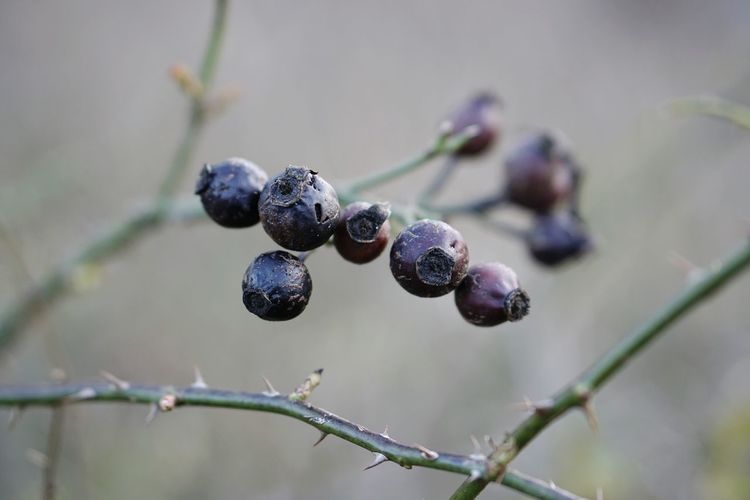 Close-up of berries decaying on plant