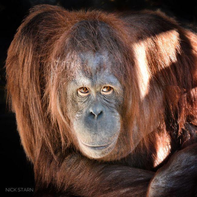 One Animal Animals In The Wild Ape Primate Mammal Animal Wildlife Animal Orangutan Portrait Gorilla Looking At Camera Animal Themes Close-up Black Background Monkey Nature