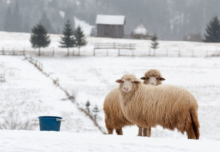 Sheep standing by bucket on snow covered land