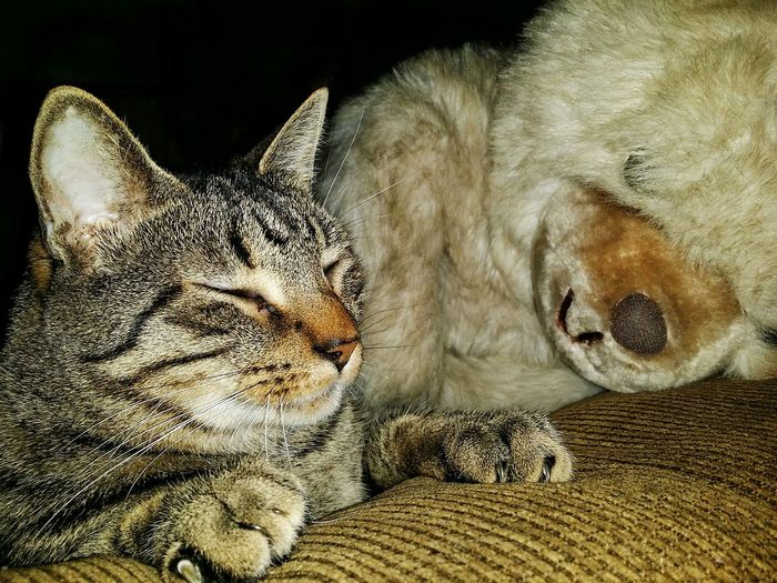 Teddy Bear Sleeping Pets Feline Close-up Whisker Cat At Home Domestic Animals Tabby Domestic Cat Tabby Cat