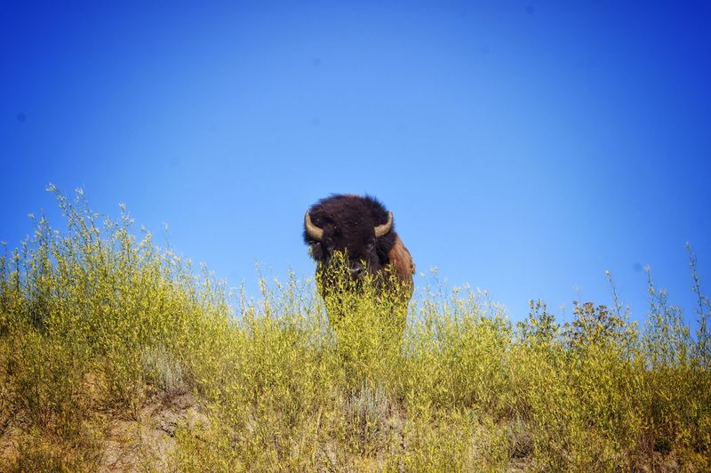 Bison on field against clear blue sky