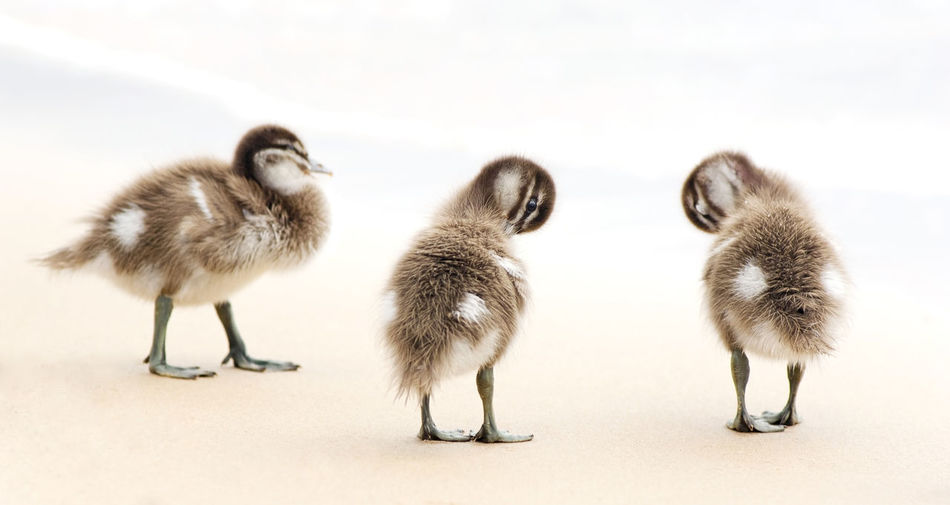 Close-up of ducklings on sand