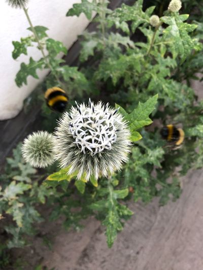 IPhone X IPhone X Photography Bumblebee Bumblebee Plant Growth Flower Flowering Plant Beauty In Nature Focus On Foreground Nature Freshness No People Plant Part Day Fragility Flower Head Outdoors High Angle View Inflorescence Leaf Vulnerability  Close-up Green Color