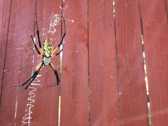 Shared my pool space with this creature. Portrait Photography Spider Spider Web Spiderweb Spiders Web Red Red Color Fence