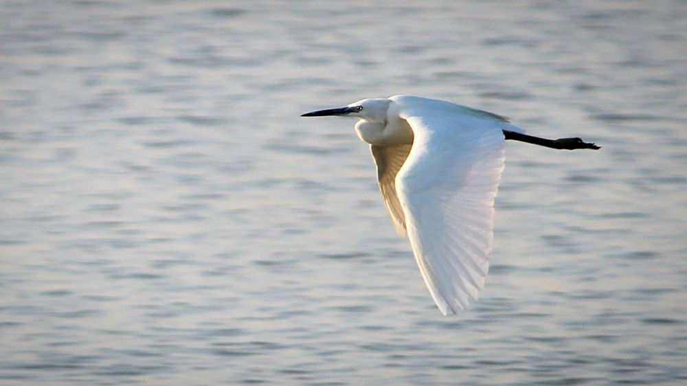 Bird One Animal Flying Spread Wings Water Day Nature Animal Wildlife No People Outdoors Animals In The Wild Animal Themes Stork Crane Bird Crane Fly High Wallpaper Focus Object Flight Hight Lake Lakebirds