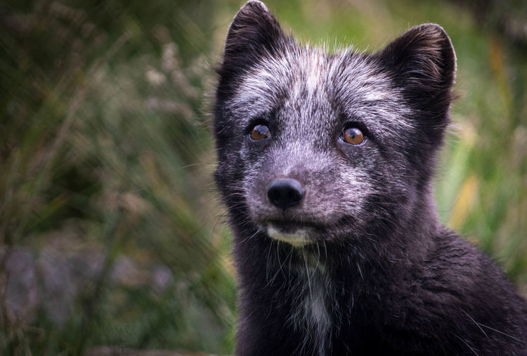 Close-up of fox looking away