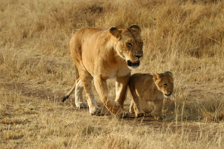 Lioness and cub walking on grassy field