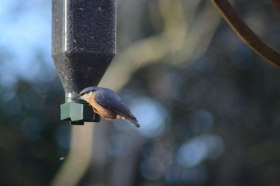 Sitta Europaea Sitelle Torchepot Beauty In Nature Bird Day Outdoor