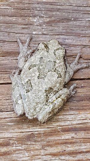 tree frog Tree